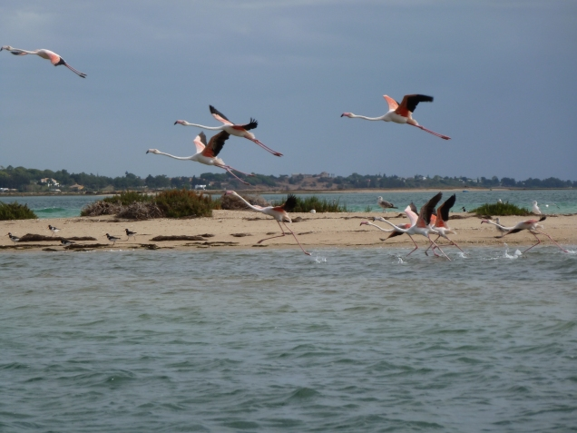 flamingos at Ria Formosa Nature Park